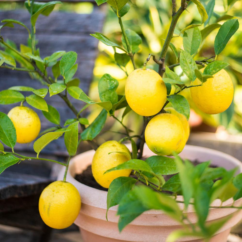 dwarf meyer lemon tree care instructions