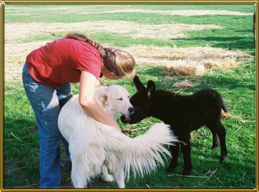 Feeding guide for maremma puppy